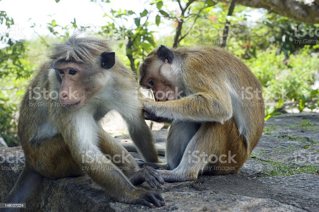 Two monkey royalty-free stock photo