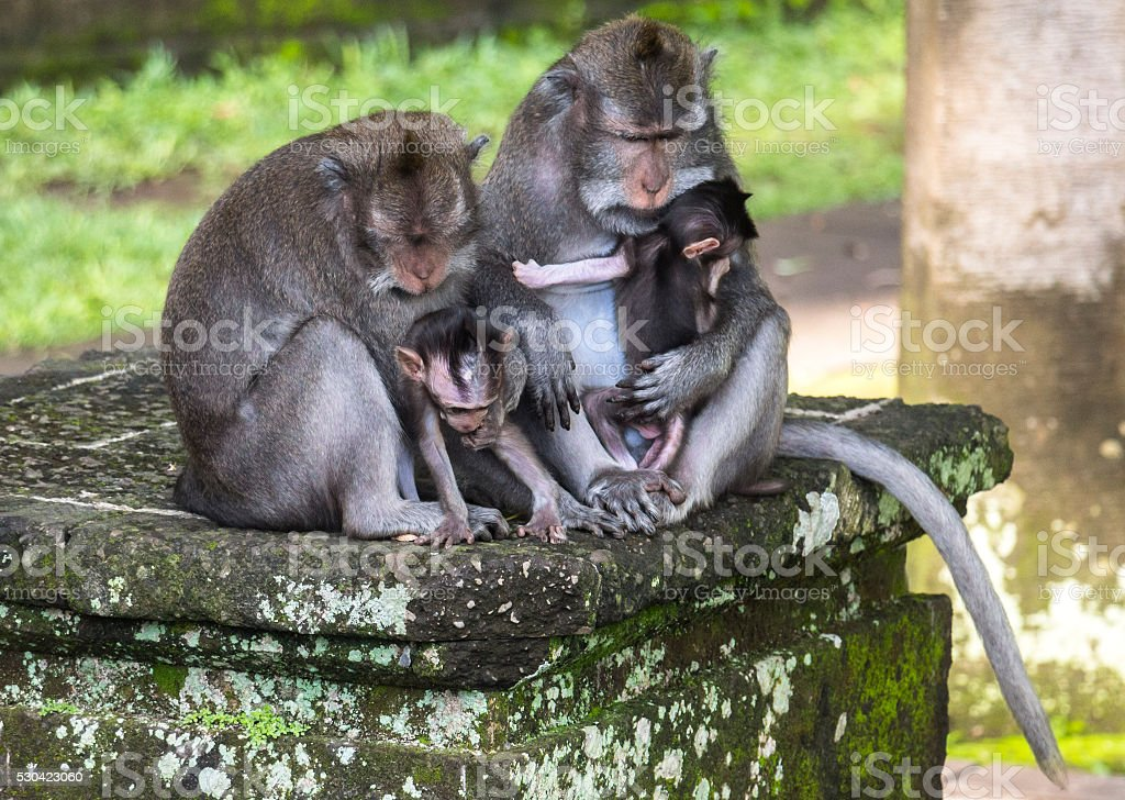 Two monkeys on Bali carrying their babies stock photo