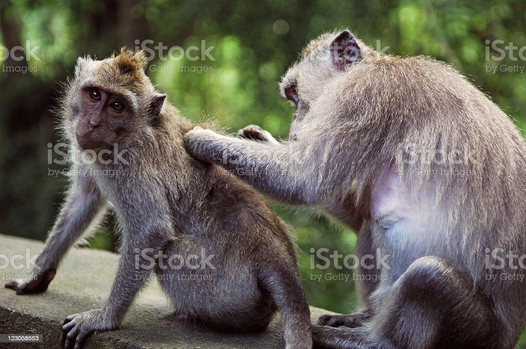 Two Monkeys royalty-free stock photo