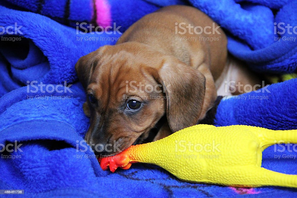 Two months mischievous puppy dachshund smooth playing with rubber toys stock photo