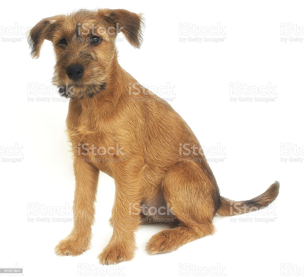 two months old puppy of terrier stock photo
