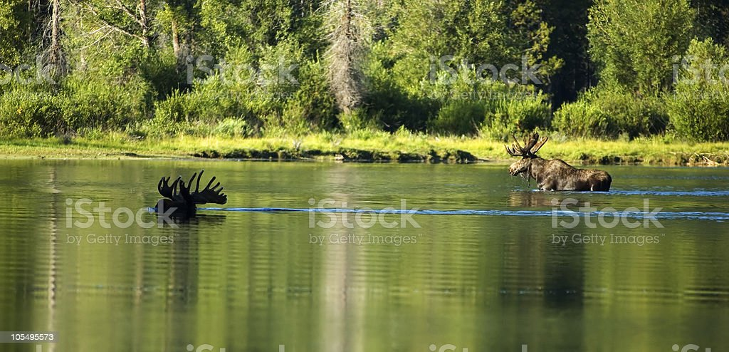 Two moose crossing Oxbow Bend royalty-free stock photo