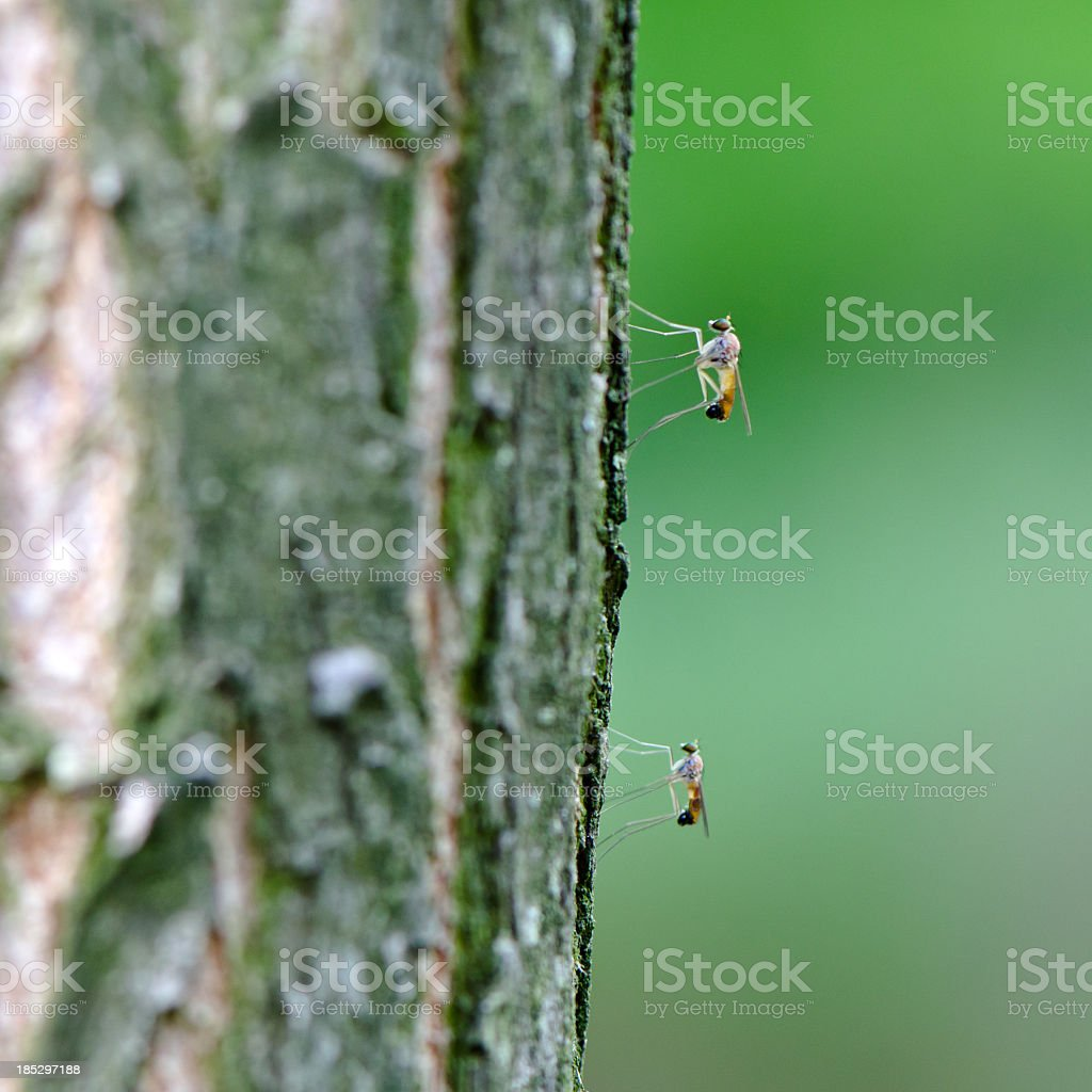 Two mosquitos rest. stock photo