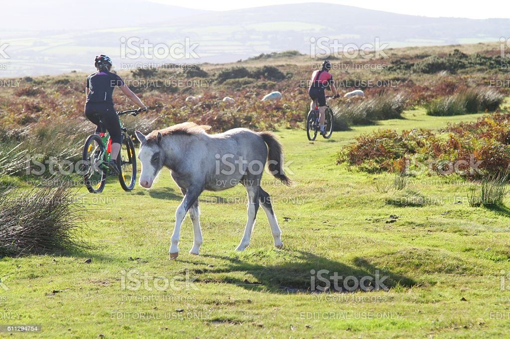 two mountain bikers and foal on Gower moorland ,Wales stock photo