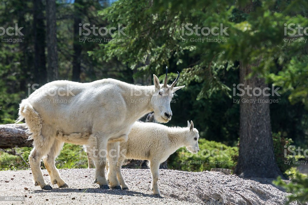Two mountain goats at Jasper National Park stock photo