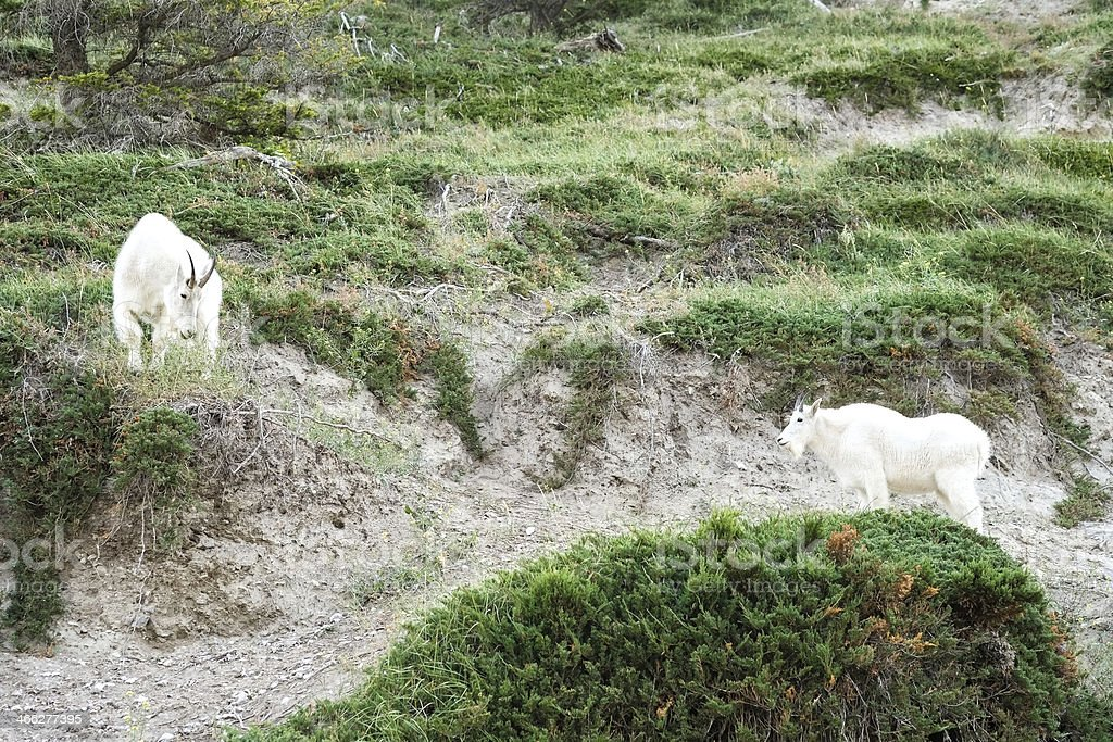 Two mountain goats enjoying the fresh air royalty-free stock photo