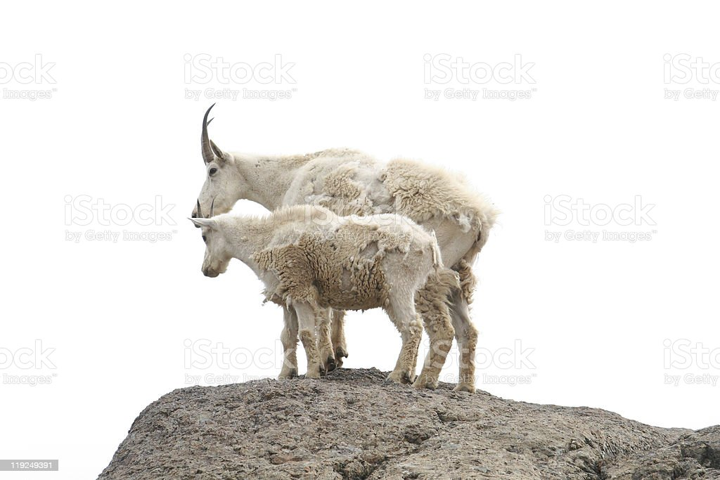 Two Mountain Goats royalty-free stock photo