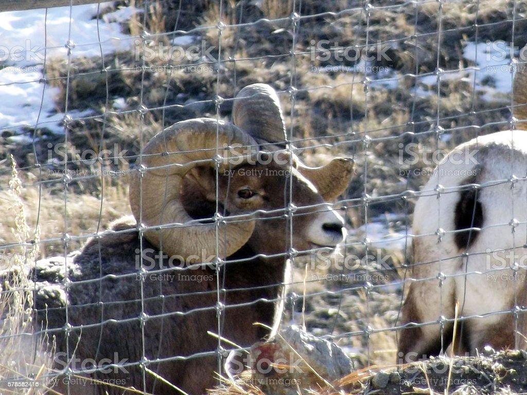 Two Mountain Sheep or Bighorn Sheep Rams stock photo