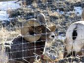 Two Mountain Sheep or Bighorn Sheep Rams