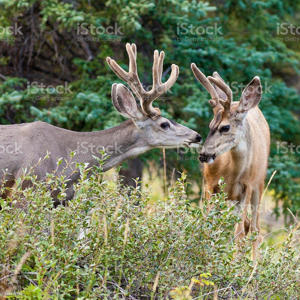 Two mule deer bucks with velvet antlers interact royalty-free stock photo