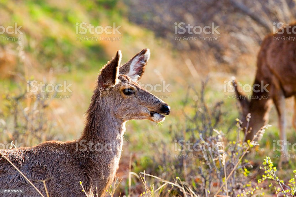 Two Mule Deer Foraging on a Colorado Spring Afternoon stock photo