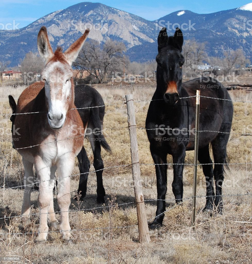 two mules stand at barb wire fence stock photo