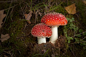Two mushroom in the autumn forest.