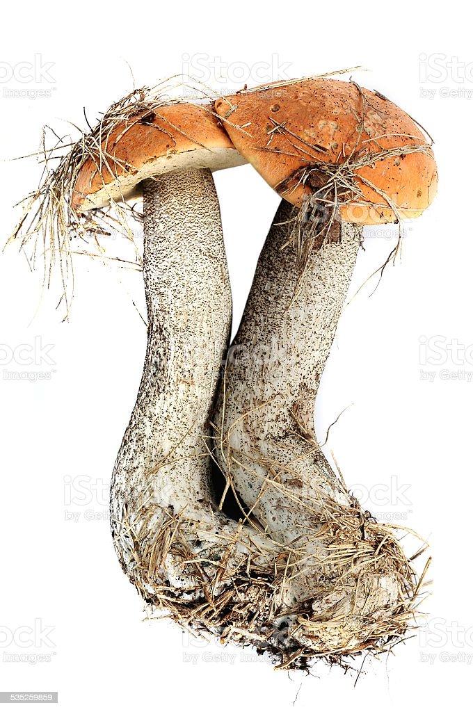two mushrooms stock photo