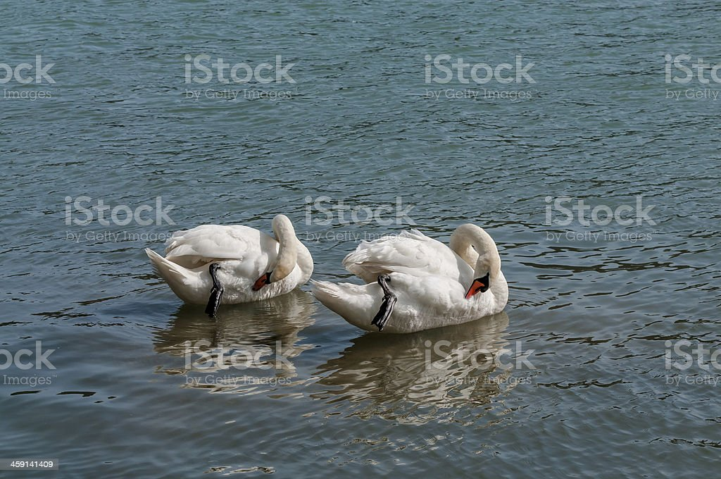 Two Mute Swans royalty-free stock photo