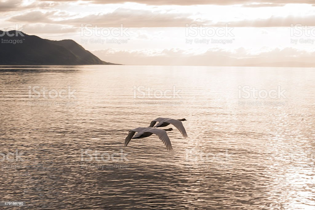 Two mute swans synchronously flying towards the sunset stock photo