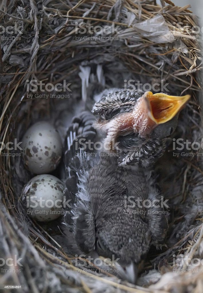 two nestlings royalty-free stock photo