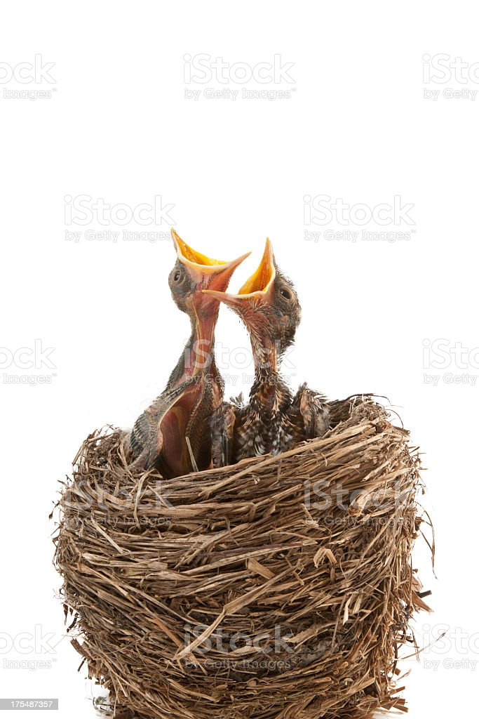 Two newborn birds in nest waiting to be fed with mouths open stock photo