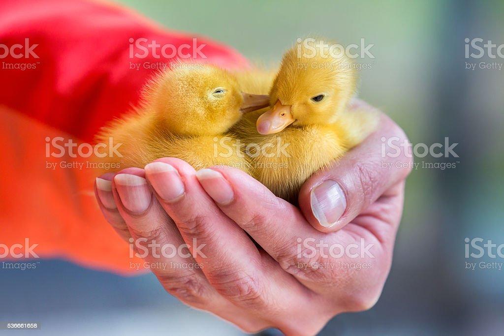 Two newborn yellow ducklings sitting on hand stock photo