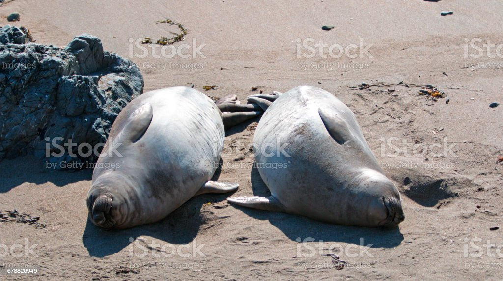 Two Northern Elephant Seals warming in the sun at the Piedras Blancas Elephant Seal colony on the Central Coast of California USA stock photo