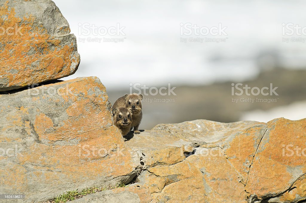 Two nosy rock dassie stock photo