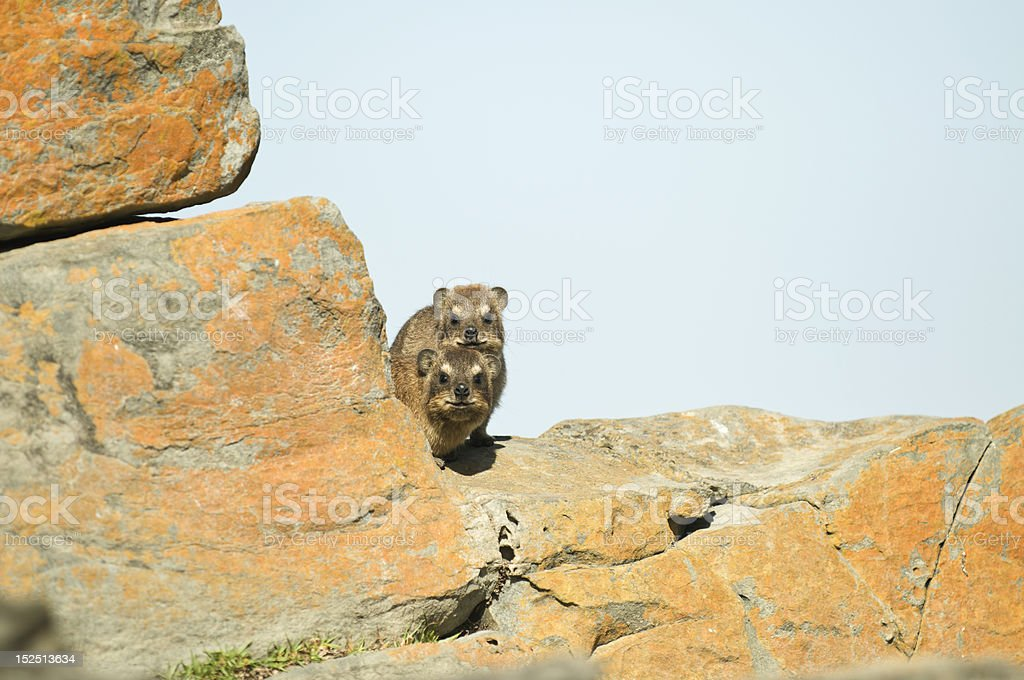 Two nosy rock dassies royalty-free stock photo