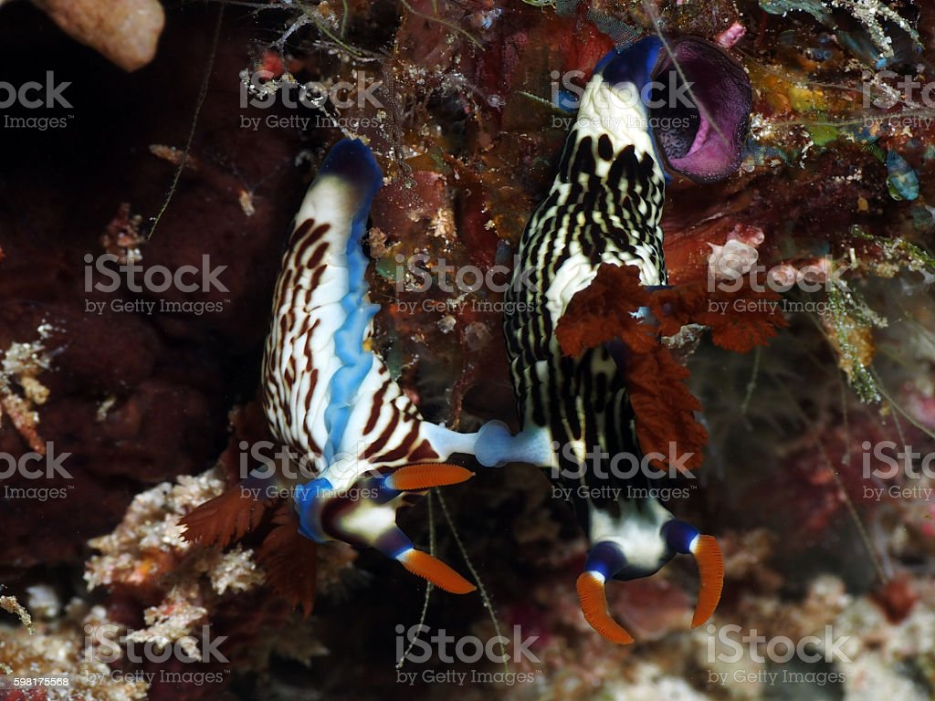 Two Nudibranch Nembrotha lineolata Mating stock photo