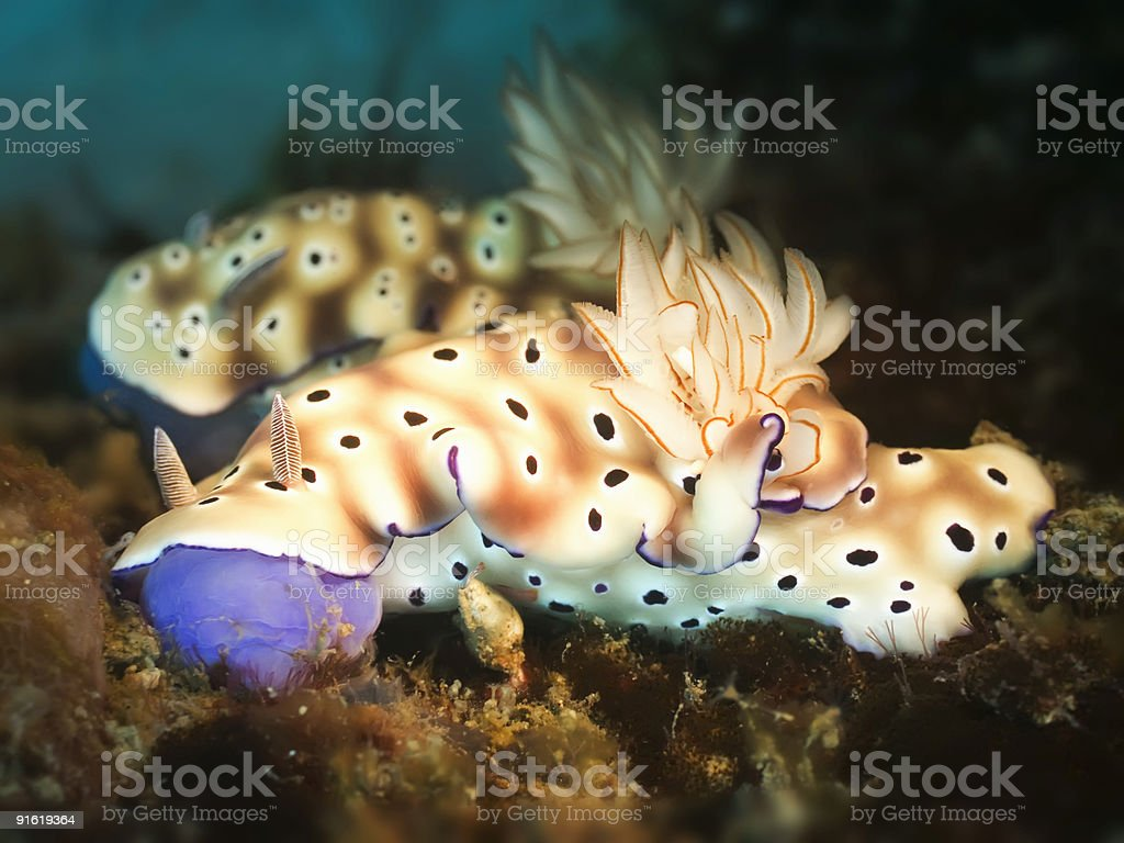 Two Nudibranches royalty-free stock photo