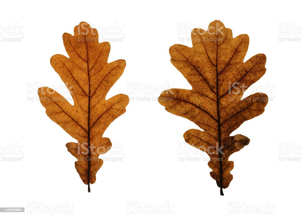 Two Oak Leaves Isolated on White royalty-free stock photo