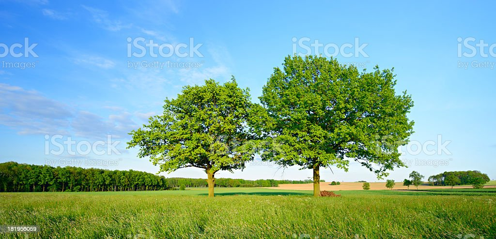 Two Oak Trees in Spring Field Landscape royalty-free stock photo