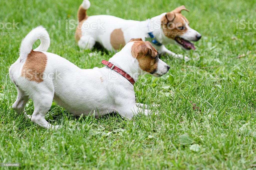 Two obedient dogs lying on grass by handler command stock photo