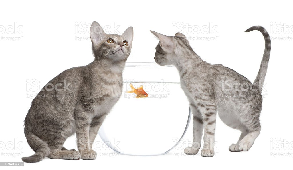 Two Ocicat Cats, looking in goldfish bowl. stock photo