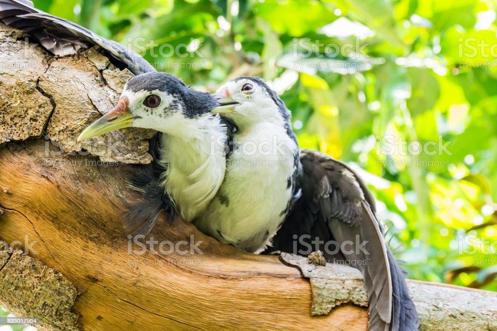 Two of amaurornis phoenicurus birds stock photo