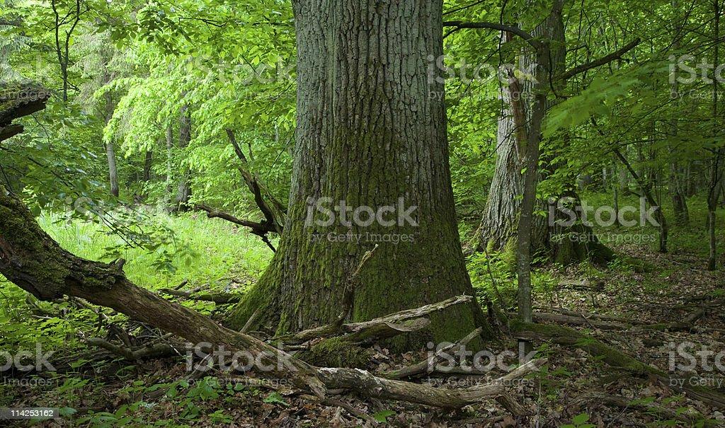 Two old large oak tree stock photo