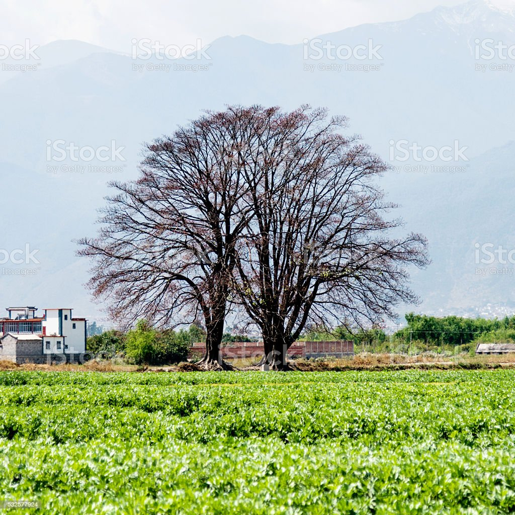 Two old trees in green farm stock photo