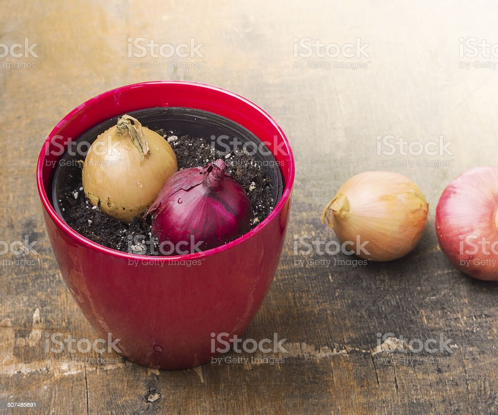 two onions in red pot on wooden table stock photo