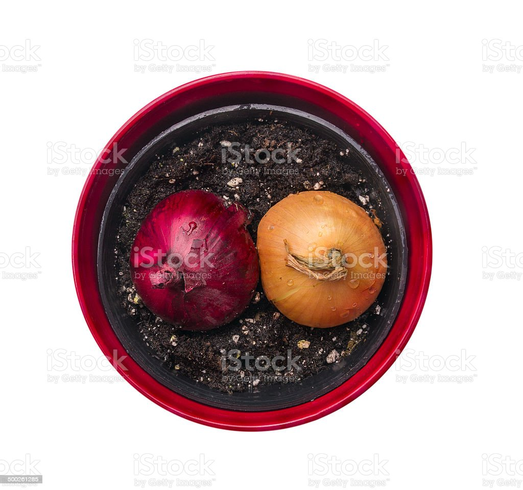 two onions in red pot, top view,isolated stock photo