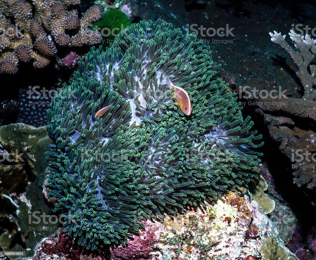 Two Orange Anemonefish - Thailand royalty-free stock photo