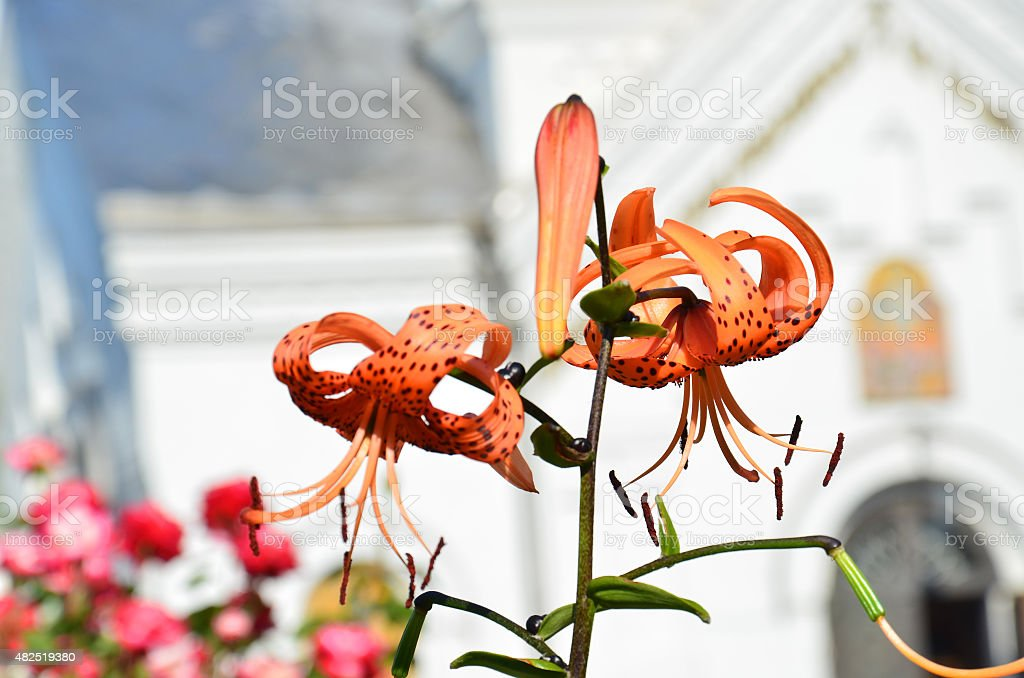 Two orange lily flower on a stalk stock photo