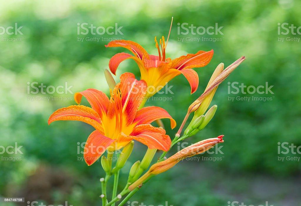 Two orange lily flowers stock photo