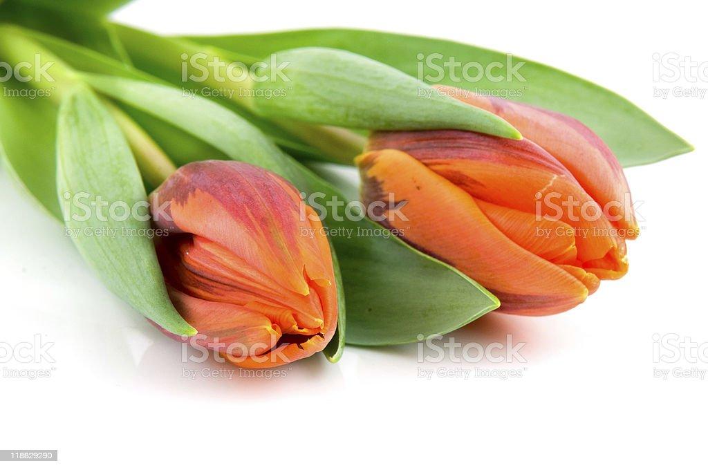 Deux orange tulipes photo libre de droits