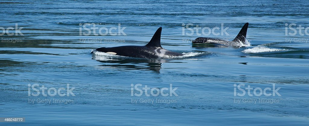 Two Orcas stock photo