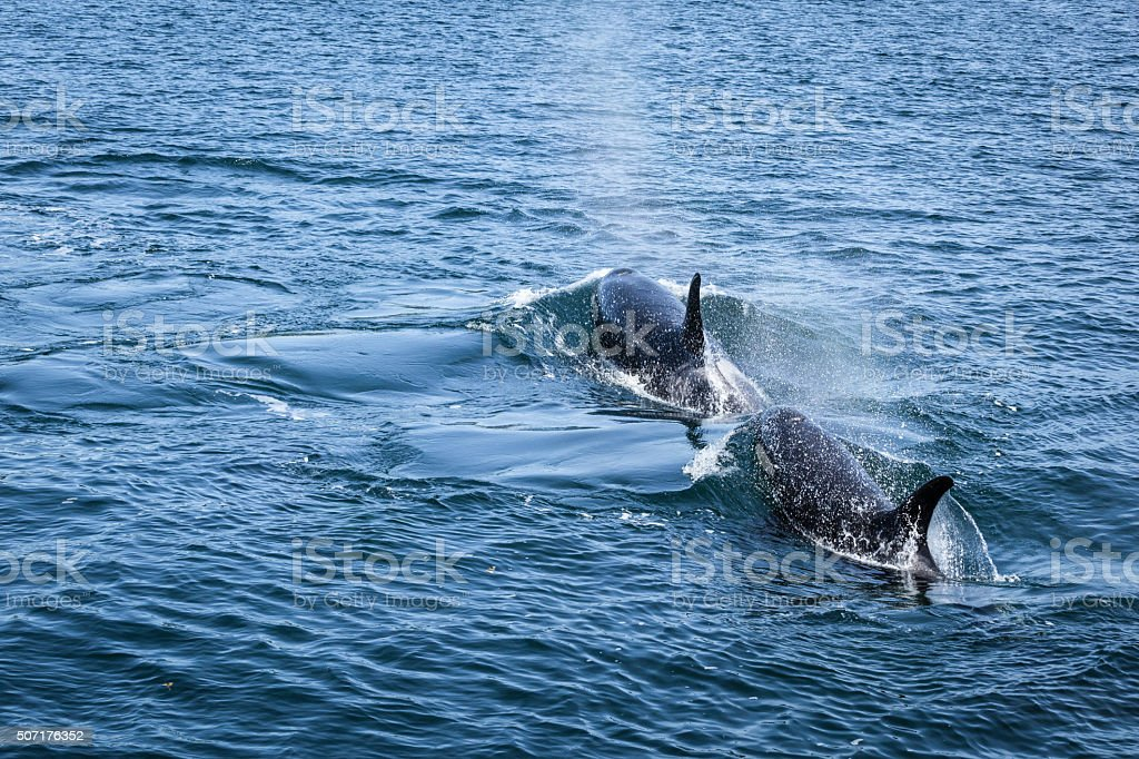 Two Orcas Swimming stock photo