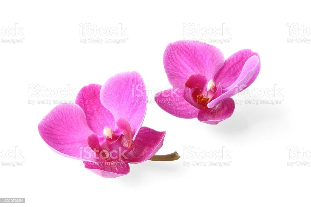 Two orchid flowers stock photo