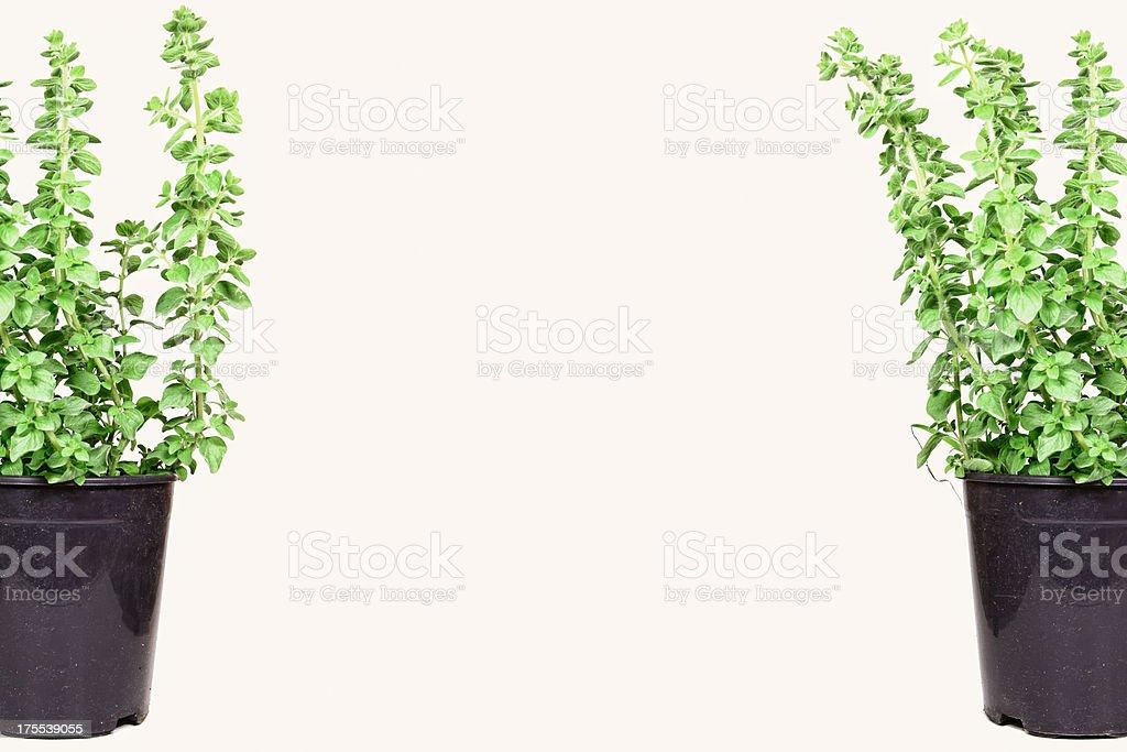 Two Oregano Pots with Copyspace | Fresh Garden Herbs stock photo