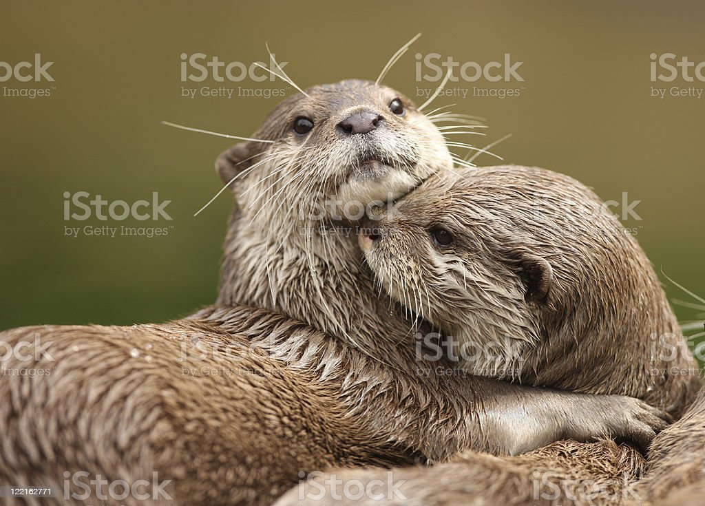 Two Oriental short-clawed otters cuddling stock photo