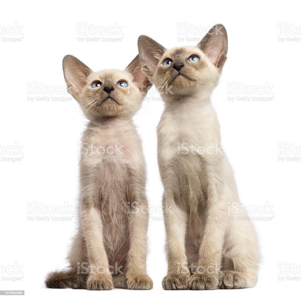Two Oriental Shorthair Kittens 9 Weeks Old Sitting stock photo