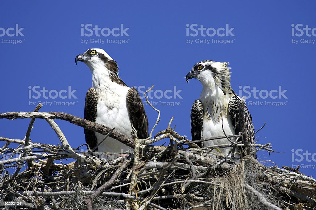 two ospreys in nest royalty-free stock photo