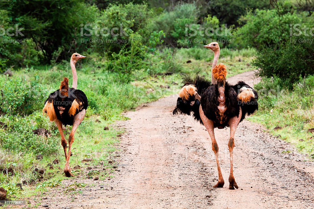Two ostrich on road in bush, Tsavo West, Kenya royalty-free stock photo