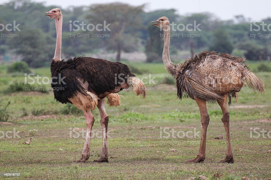 Two ostriches royalty-free stock photo